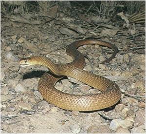 Australian_Brown_Snake