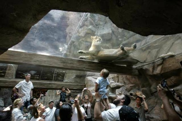 mgm grand las vegas lion habitat closed